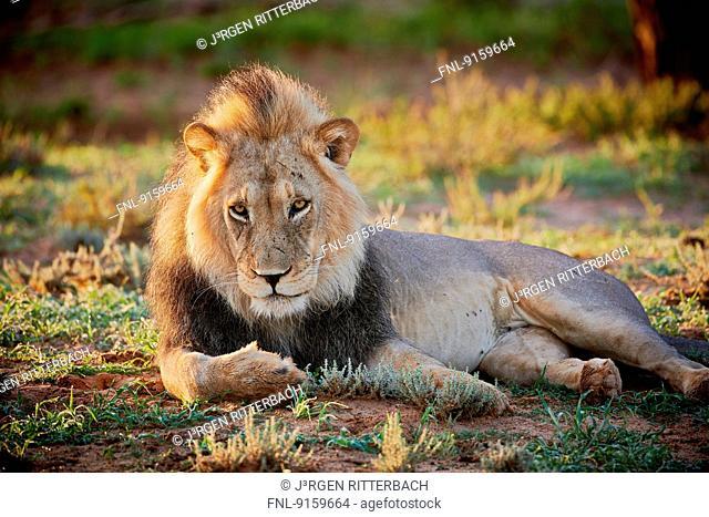 Lion, Kgalagadi Transfrontier Park, Kalahari, South Africa, Botsuana