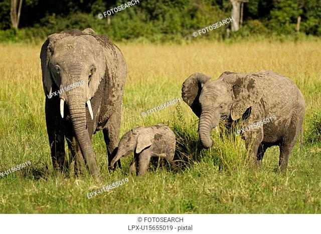 Adult elephant with very young baby elephant and older sibling, side view as they walk in long grass, with woodland beyond, Maasai Mara, Kenya