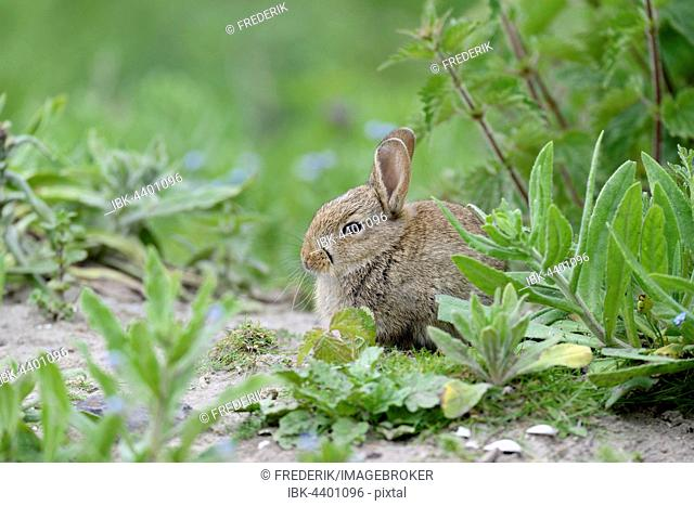 European rabbit (Oryctolagus cuniculus), juvenile, Norderney, East Frisian Islands, Lower Saxony, Germany