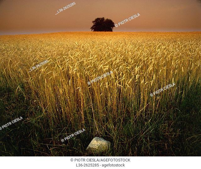 Rye field. Podlasie region. Poland