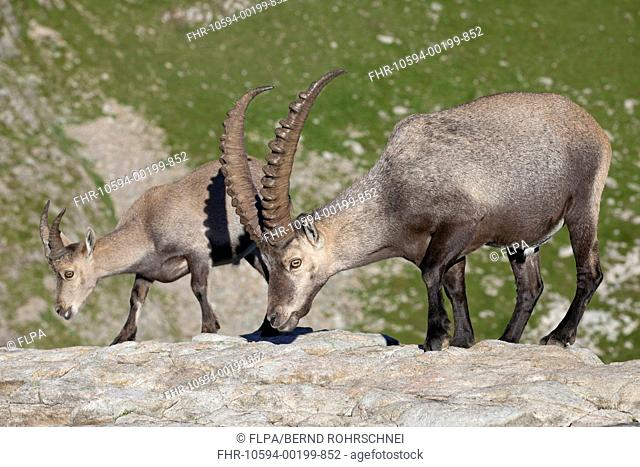 Alpine Ibex Capra ibex adult male and immature male, standing on rocks, Niederhorn, Swiss Alps, Bernese Oberland, Switzerland, August