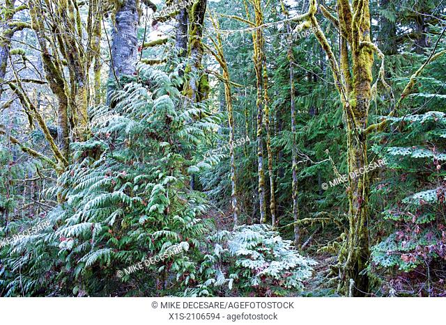 Frost coats distinctive Pacific Northwest forest and the moss covered trees