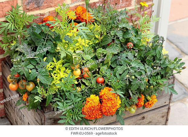 Marigold, Tagetes erecta planted closely with tomato, Lycopersicon esculentum in a wooden fruit crate