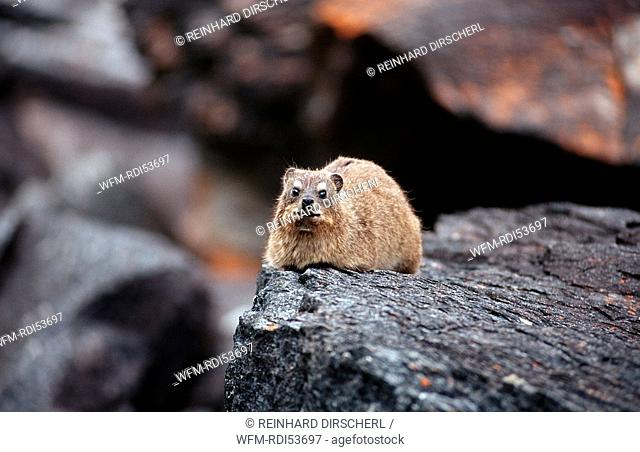 Common Rock Hyrax Rock Dassie, Procavia capensis, Tsitsikamma National Park Otter trail, South Africa