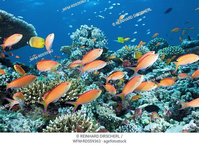 Coral Reef with Lyretail Anthias, Pseudanthias squamipinnis, North Ari Atoll, Maldives
