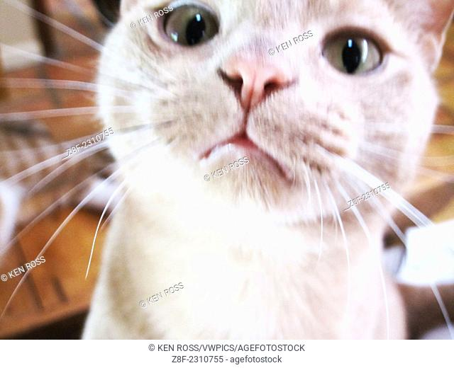 Curious Domestic Cat - Close Up