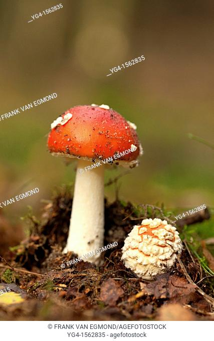 Fly Agaric, Herperduin, Herpen, The Netherlands