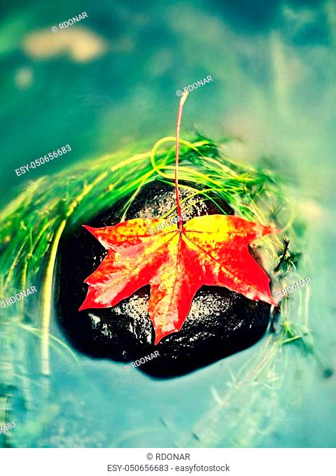 Caught yellow orange maple leaf on long green algae stone. Colorful symbol of comming fall season. Boulder in mirror water of mountain river