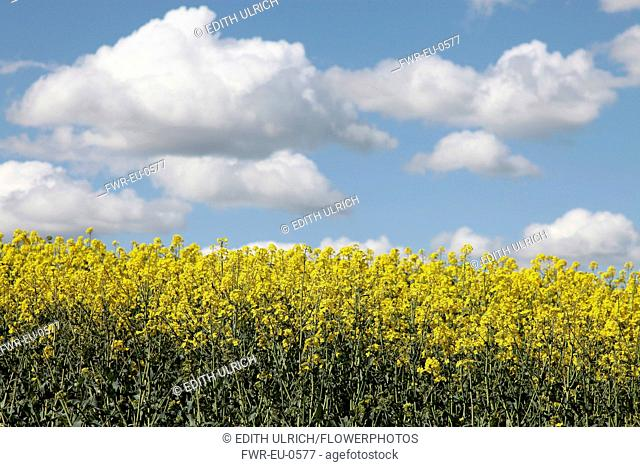 Brassica, Oilseed rape, A mass of yellow flowers against blue sky