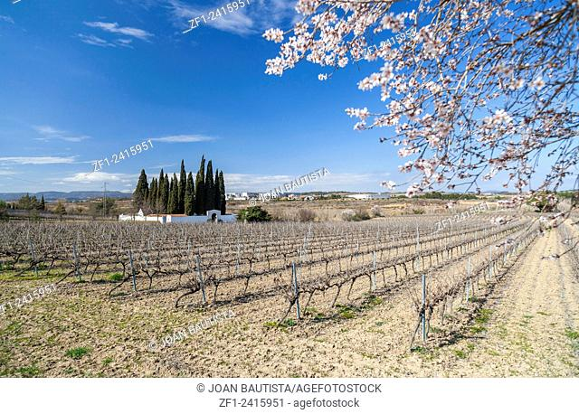 Landscape with vineyards in Penedes zone, Subirats,Catalonia,Spain