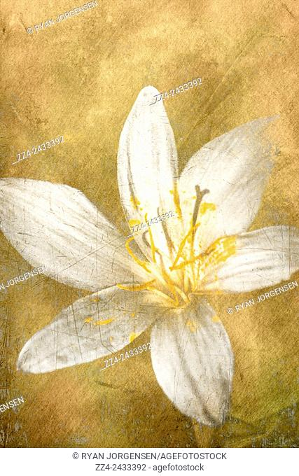 Old artwork of an ageless white lily flower forever blooming on vintage paper background. Undying love