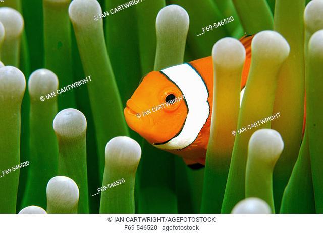 False Clown fish hiding in anenome