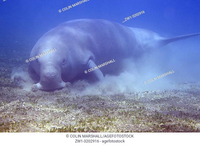Dugong (aka Sea Cow, Dugong dugon) feeding in sea grass, Tasi Tolu dive site, Dili, East Timor (Timor Leste)