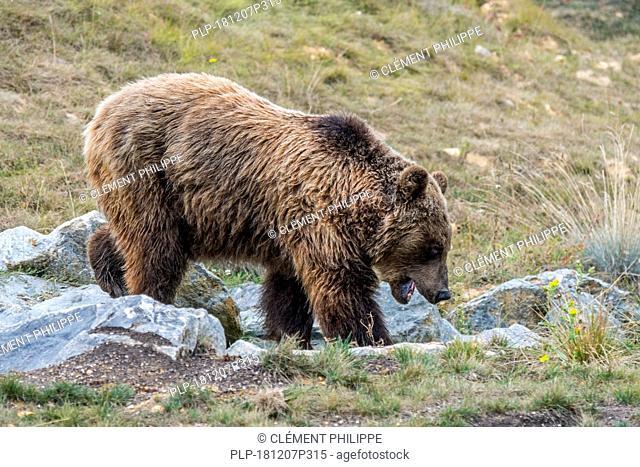 European brown bear (Ursus arctos arctos) foraging among rocks on mountain slope in the Pyrenees