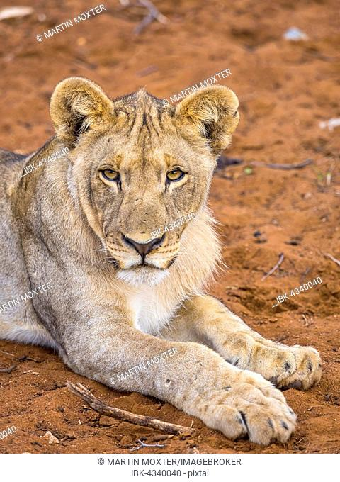 Young Lioness (Panthera leo) lying on red soil, Okaukuejo, Etosha National Park, Namibia