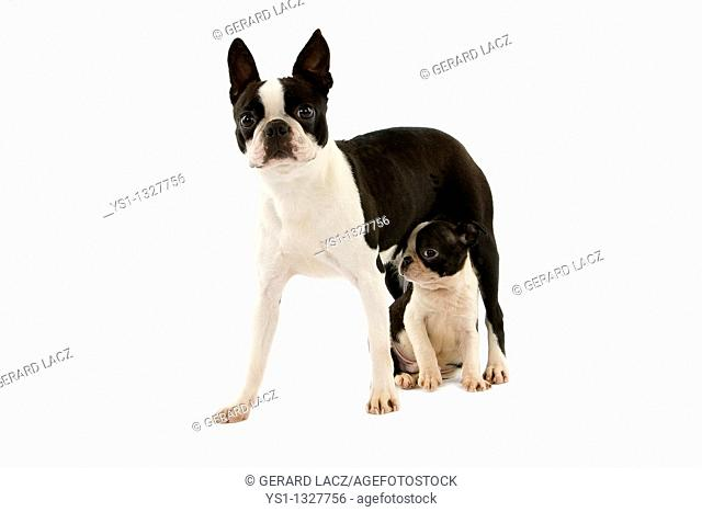 BOSTON TERRIER DOG, FEMALE WITH PUP AGAINST WHITE BACKGROUND