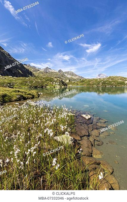 Wildflowers on the shore of the alpine lake, Crap Alv Lejets, Albula Pass, canton of Graubünden, Switzerland