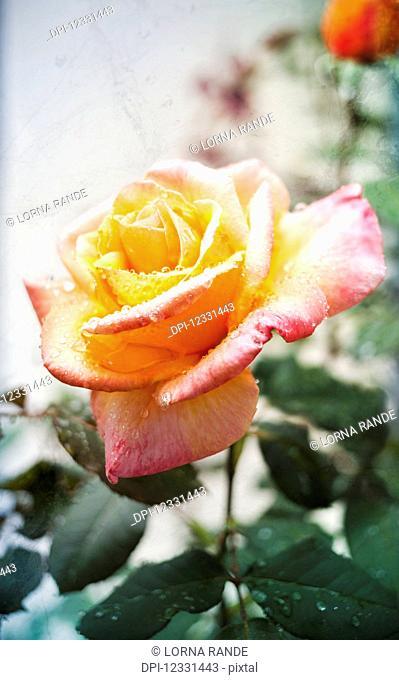 September Rose Blooming In The Rain; Surrey, British Columbia, Canada