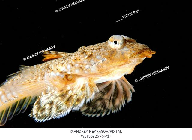 Sailfin dragonet (Callionymus pusillus) female. Black sea, Crimea, Ukraine, Eastern Europe
