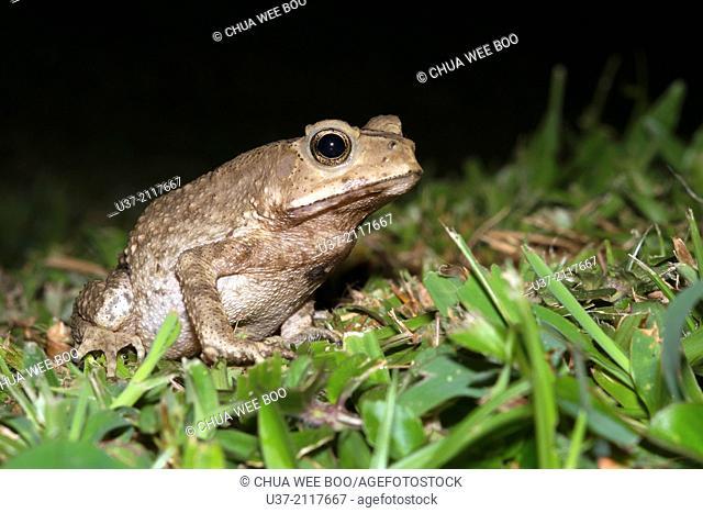 Toad. Image taken at MBKS Botanical Garden, Kuching, Sarawak, Malaysia