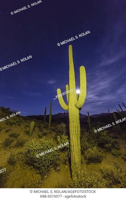 Full moon on saguaro cactus, Carnegiea gigantea, Sweetwater Preserve, Tucson, Arizona, USA