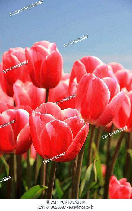 Pink tulips in sunlight