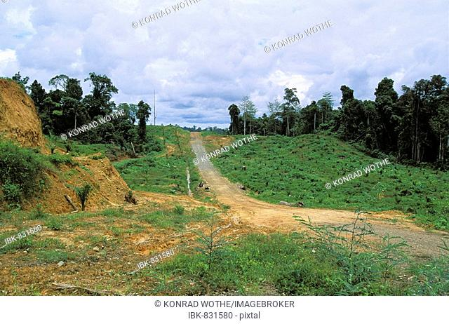 Young oil palm (Elaeis) plantation in front of rainforest, rainforest destruction, Sabah, Borneo, Southeast Asia