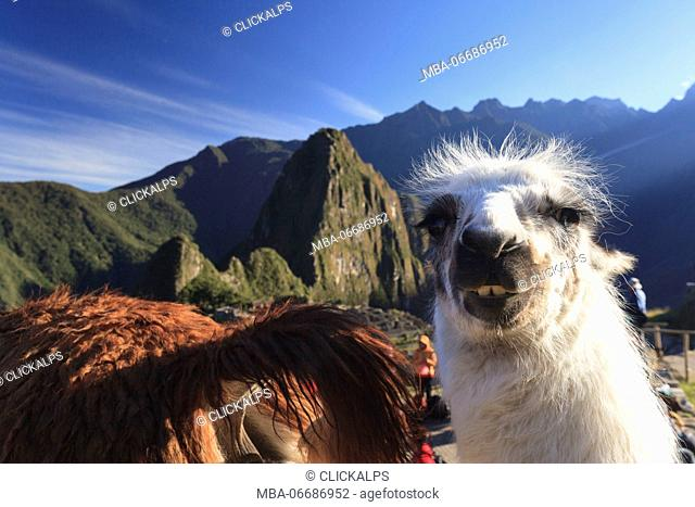 Llama at the iconic archeological site of Machu Picchu in the Cusco Region, Urubamba Province, Machupicchu District, Peru, South America