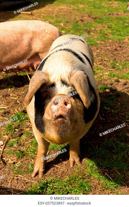 Pig with black pots in portrait