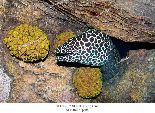 Honeycomb Moray (Gymnothorax favagineus) Red sea, Egypt