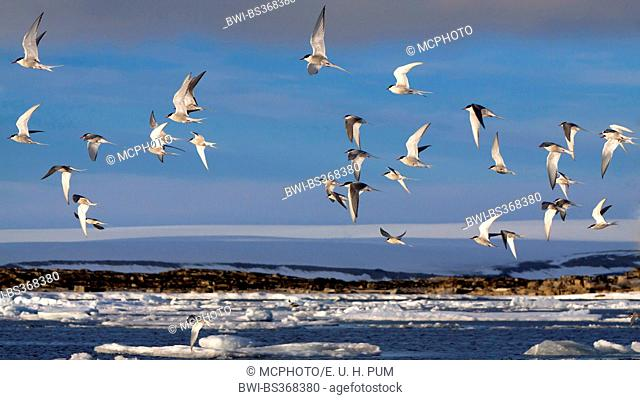 arctic tern (Sterna paradisaea), flock of Arctic terns flying above the coastline of the Arctic Ocean, Norway, Svalbard
