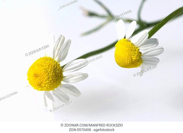 Kamille, Chamomilla recutita, Kamilleblueten, Heilpflanzen
