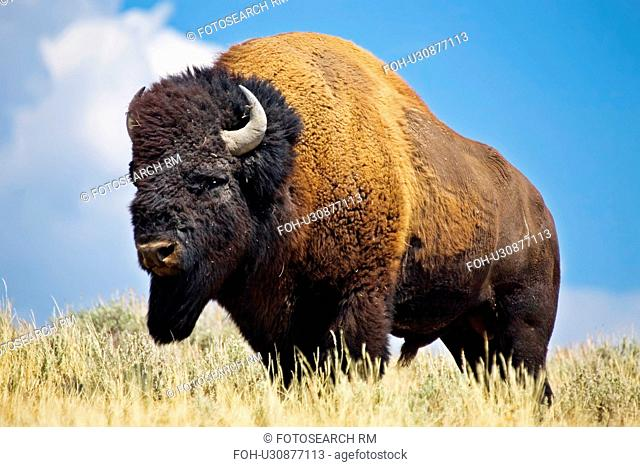 design american bison bull male animals wildlife