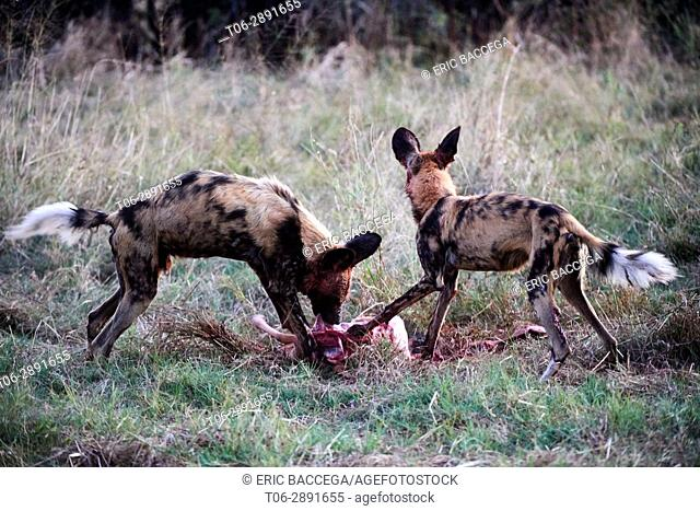 African wild dogs (Lycaon pictus) feeding on impala prey (Aepyceros melampus). Moremi National Park, Okavango delta, Botswana, Southern Africa