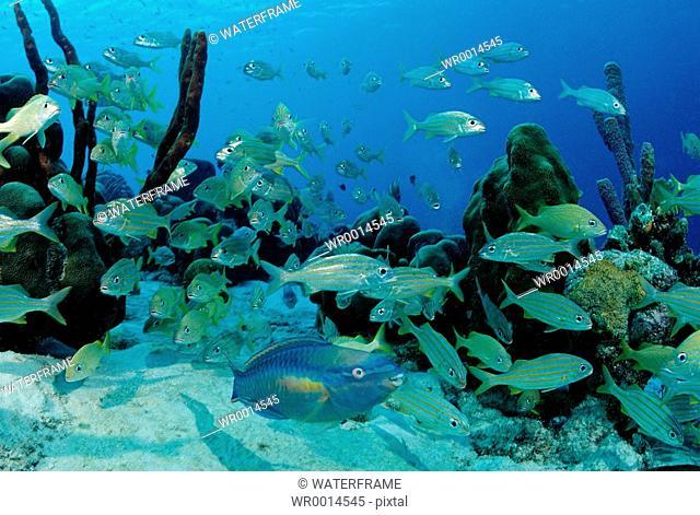 Princess Parrotfish between Smallmouth Grunt, Scarus taeniopterus, Haemulon chrysargyreum, Caribbean Sea, Bonaire