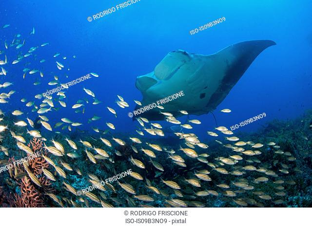 Giant manta swimming over a shoal of small fish, Cancun, Mexico