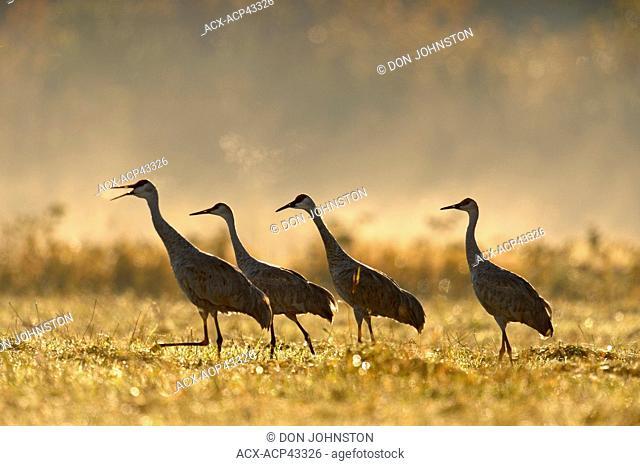 Sandhill crane Grus canadensis Migratory flock feeding in hayfield, Manitoulin Island, Ontario, Canada