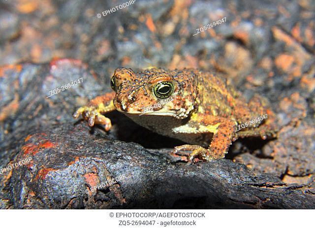 Name: Amboli Toad (Xanthophyrne tigerinus) Location: Amboli, Maharashtra