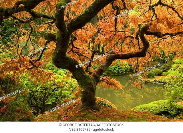 Japanese maple in autumn, Portland Japanese Garden, Washington Park, Portland, Oregon