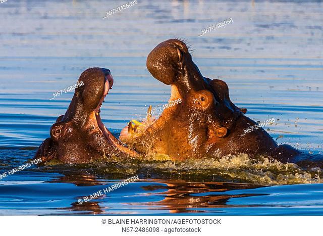 Two hippos splashing, Okavango Delta, Botswana