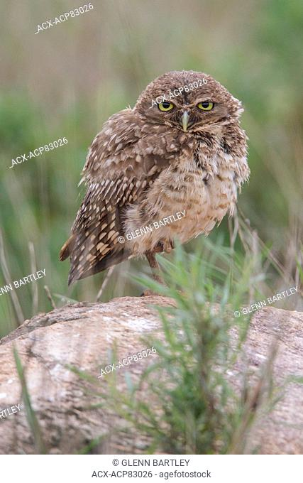 Burrowing Owl (Athene cunicularia) perched on a branch in the Atlantic rainforest of southeast Brazil