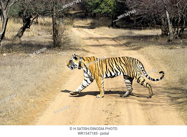 tiger crossing road in Ranthambore national park Rajasthan India Asia