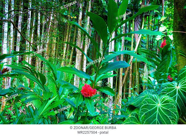 Tahitian red ginger plant blooming in a beautiful tropical forest in Hawaii