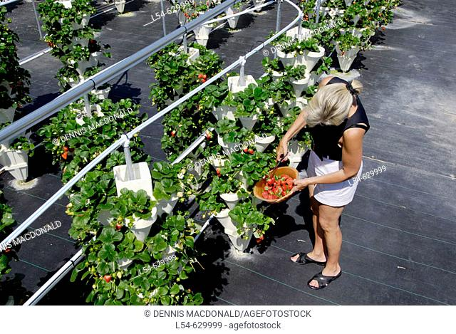 Hydroponic Strawberry Farming in Ruskin Florida Tampa Hillsborough County Gulf West Central