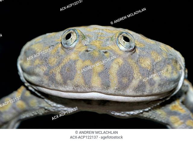 Paraguay Horned Frog ( Lepidobatrachus laevis) - captive. Also known as Budgett's Frog they are endemic to Paraguay, Bolivia, and Argentina