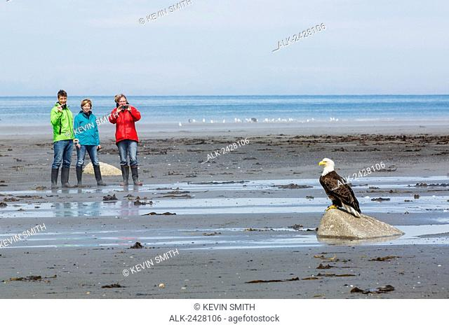 Group of tourists photograph a Bald Eagle perched on a rock, Bishop's Beach, Anchor Point, Southcentral Alaska, USA