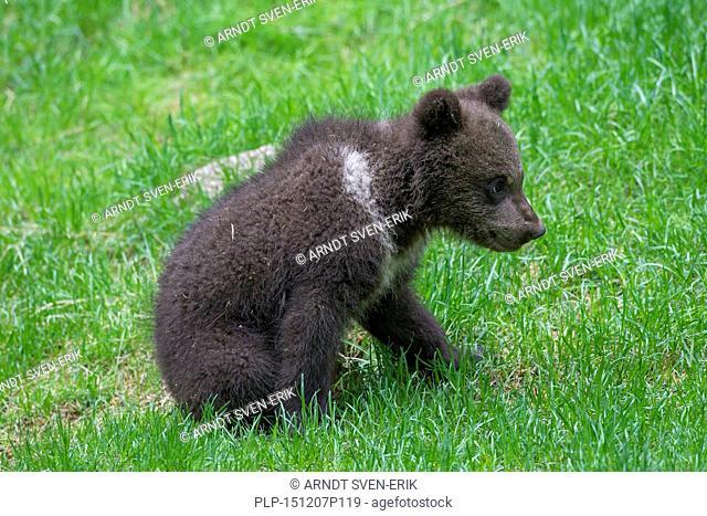 Brown bear (Ursus arctos) cub in grassland