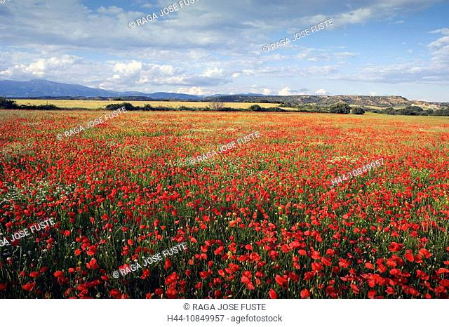 Spain, Europe, travel, Amapolas, poppy, field, poppies, red, meadow, flowers, flowering, nature, landscape, scenery