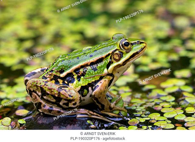 Edible frog / common water frog / green frog (Pelophylax kl. esculentus / Rana kl. esculenta) in pond among duckweed