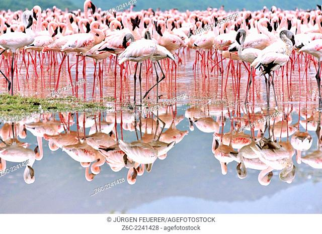 Flamingos, Phoeniconaias minor, in the mirror of salty water in the Rift Valley, Kenya